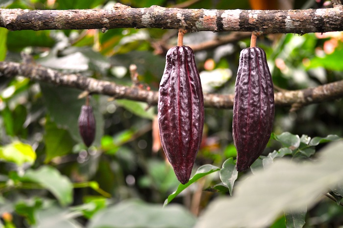LovaLinda Bali Plantation Cacao