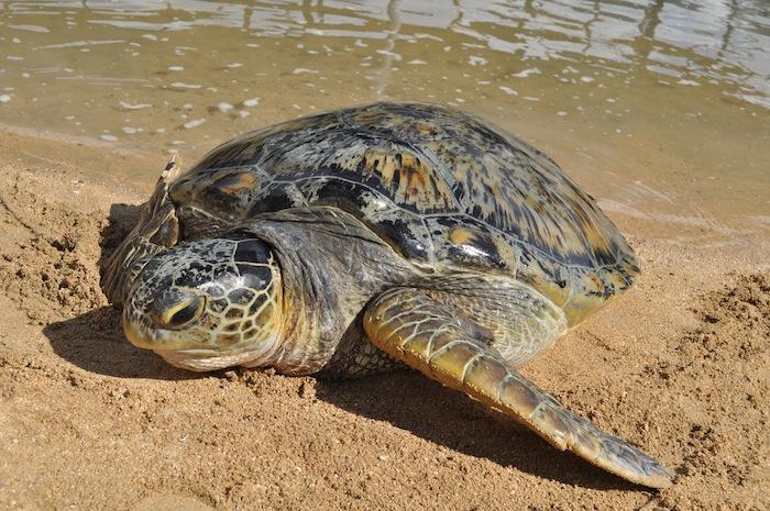 LovaLinda Bali Turtle